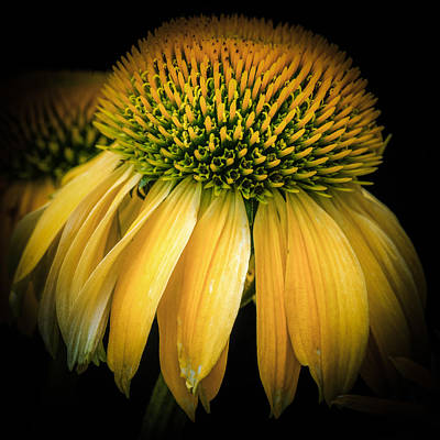 Coneflower Photograph - Flower - Yellow Coneflower - Prairie Blossom - Macro by Black Brook Photography