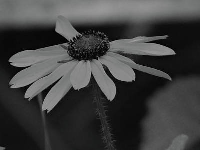 Photograph - Black Eyed Susan by Jenny Regan