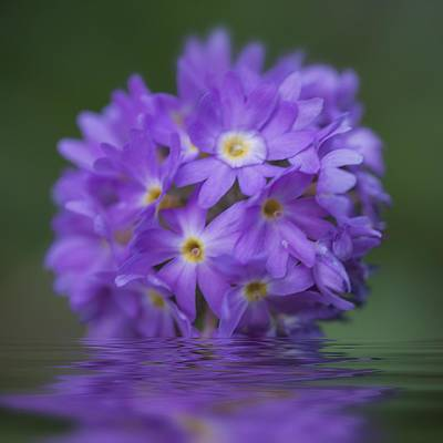 Photograph - Flowerball Reflection by Jacqui Boonstra