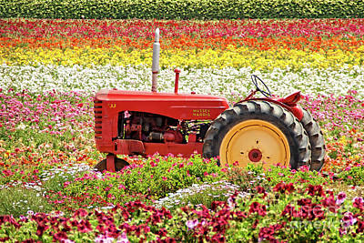 Photograph - Flowerfields - Antique Tractor by Gabriele Pomykaj