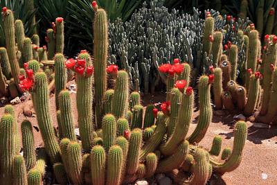 Photograph - Flowering African Cactus by Aidan Moran