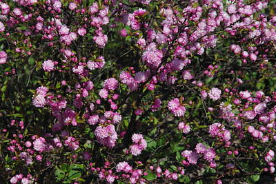 Photograph - Flowering Almond Bush by Robyn Stacey