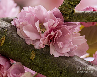 Photograph - Flowering Almond I by Chuck Flewelling