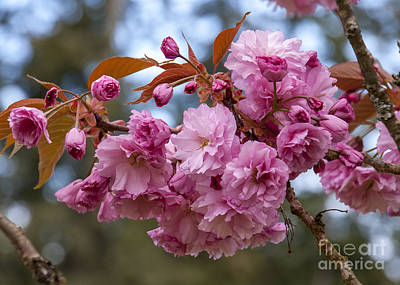 Photograph - Flowering Almond II by Chuck Flewelling