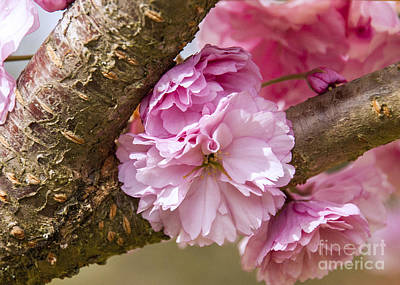Photograph - Flowering Almond IIi by Chuck Flewelling