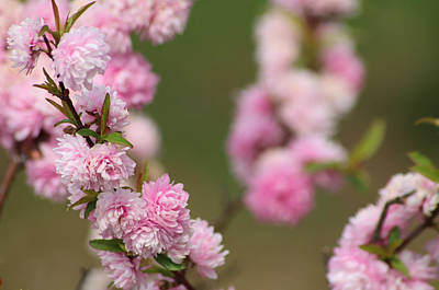 Photograph - Flowering Almond by Living Color Photography Lorraine Lynch