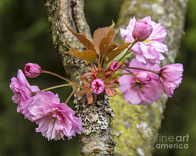 Photograph - Flowering Almond V by Chuck Flewelling