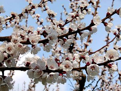 Photograph - Flowering Apricot Tree by Will Borden
