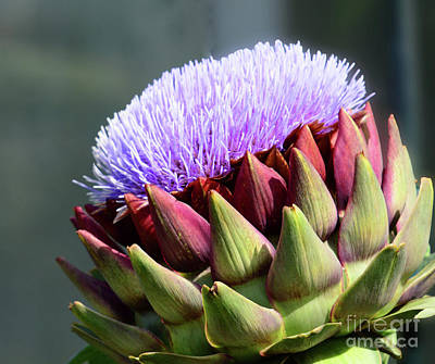 Photograph - Flowering Artichoke by Cindy Manero