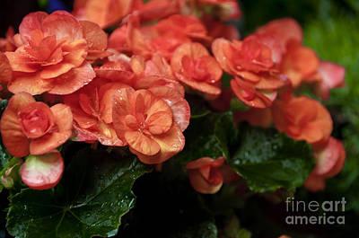 Photograph - Flowering Begonias by Leonardo Fanini