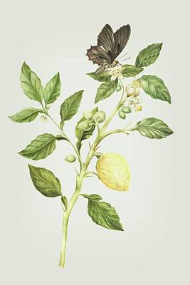 Lemon Mixed Media - Flowering Branch Of Lemon Tree Fruit And Butterfly By Cornelis Markee 1763 by Cornelis Markee