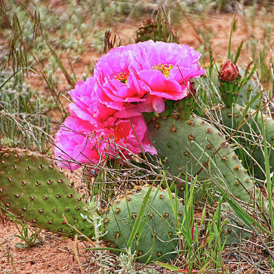 Photograph - Flowering Cactus # 2 by Allen Beatty