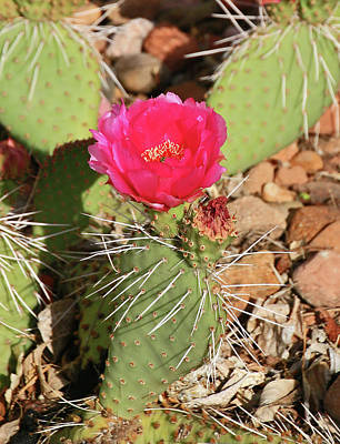 Photograph - Flowering Cactus # 4 by Allen Beatty