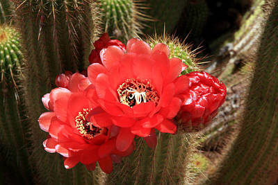 Photograph - Flowering Cactus by Aidan Moran