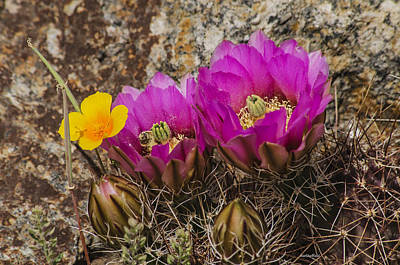 Photograph - Flowering Cactus by Allen Sheffield