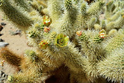 Photograph - Flowering Cholla Cactus - Joshua Tree National Park by Glenn McCarthy
