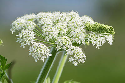 Photograph - Flowering Cow Parsnip  by Robert Potts