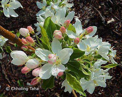Photograph - Flowering Crab Apple by Chholing Taha