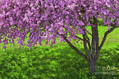 Photograph - Flowering Crabapple by Alan L Graham