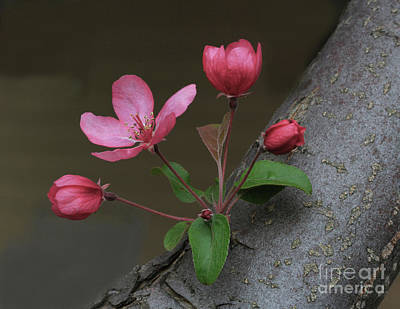 Pink Photograph - Flowering Crabapple by Gary Wing