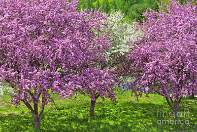 Photograph - Flowering Crabapples by Alan L Graham