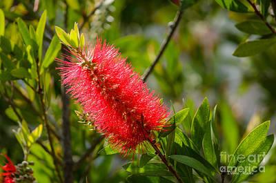 Crimson Bottlebrush Photograph - Flowering Crimson Bottlebrush  by Debra Martz
