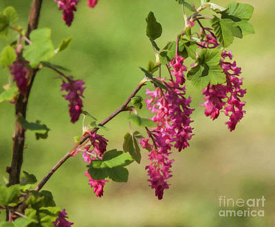 Digital Art - Flowering Currant Ribes Sanguineum by Liz Leyden