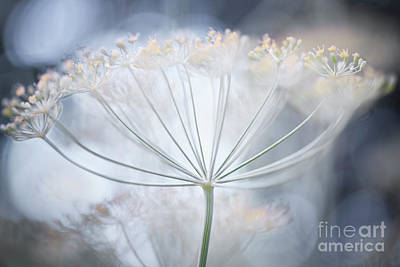 Photograph - Flowering Dill Details by Elena Elisseeva