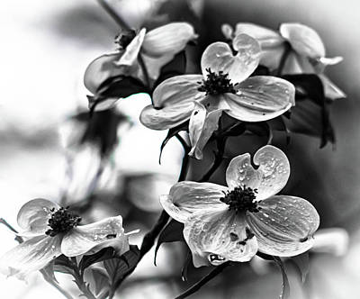 Photograph - Flowering Dogwood   by Debra Forand