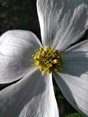 Photograph - Flowering Dogwood by Robert Nickologianis