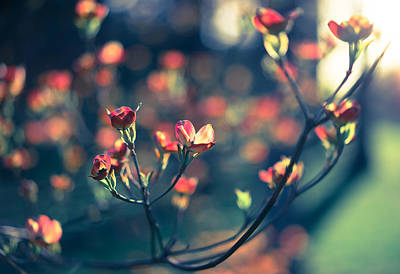 Photograph - Flowering Dogwood by Scott Rackers