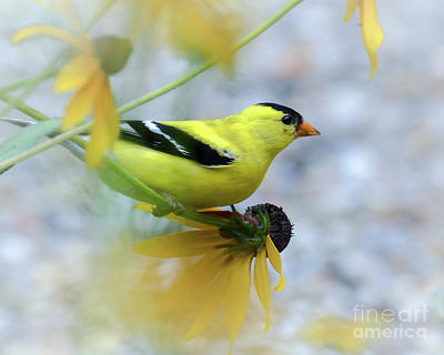 Photograph - Flowering Finch by Amy Porter