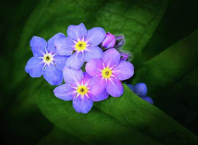 Photograph - Flowering Forget-me-nots by Carolyn Derstine