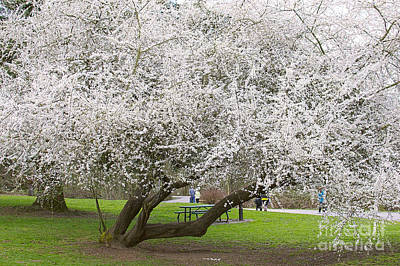 Photograph - Flowering Fruit Tree by Sharon Talson