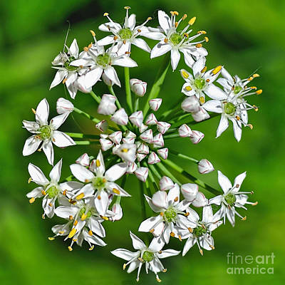 Flowering Garlic Chives Art Print by Kaye Menner