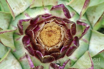 Photograph - Flowering Houseleek by Michal Boubin