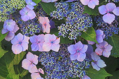 Photograph - Flowering Hydrangea by John Burk