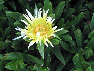 Photograph - Flowering Ice Plant by Sandy Taylor