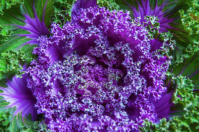 Photograph - Flowering Kale by Jenny Rainbow
