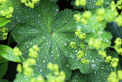 Photograph - Flowering Lady's Mantle - by Julie Weber