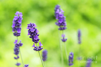 Photograph - Flowering Lavender by Tim Gainey