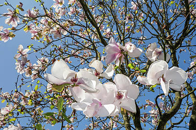 Photograph - Flowering Magnolia by Arterra Picture Library