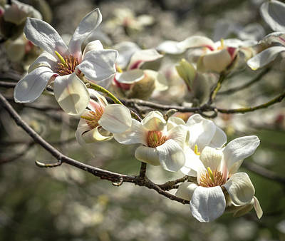 Photograph - Flowering Magnolia by Cathy Donohoue