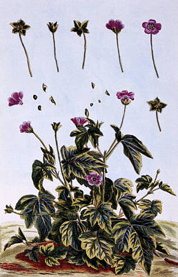 Flora Drawing - Flowering Maple Or Indian Mallow by Pierre-Joseph Buchoz