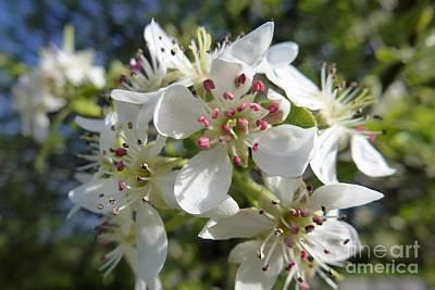 Flowering Of White Flowers 2 Art Print