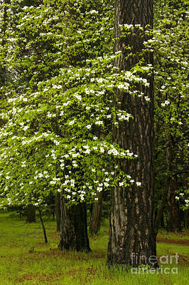 Amador County Photograph - Flowering Pacific Dogwood Tree by Inga Spence
