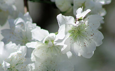 Photograph - Flowering Peach Tree - White Bliss by Pamela Critchlow