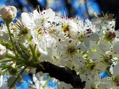 Photograph - Flowering Pear by Maria Urso