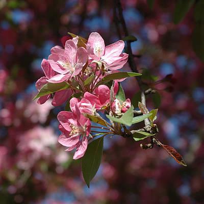 Flowering Pink Dogwood Art Print by Frank Mari