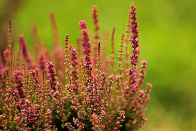 Photograph - Flowering Pink Heather by Yana Shonbina